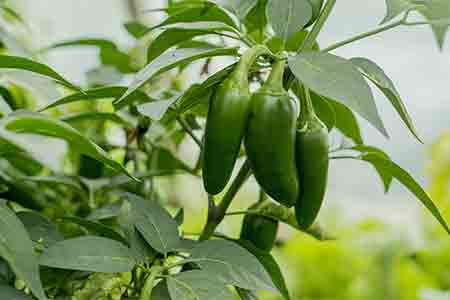 best landscapers phoenix. can you grow peppers in arizona.